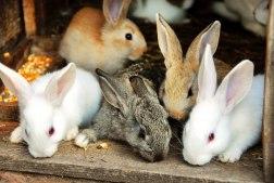 Важное объявление для кролиководов