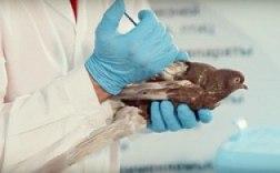Видеоролик о вакцинации голубей против сальмонеллеза и ньюкаслской болезни