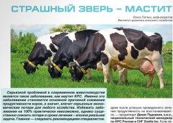 Ответы на наболевшие вопросы про мастит у коров