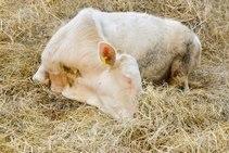 Субинволюция матки у коров: симптомы, особенности заболевания