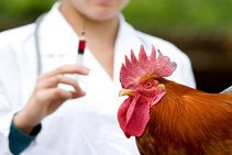 Симптомы и лечение ньюкаслской болезни птиц