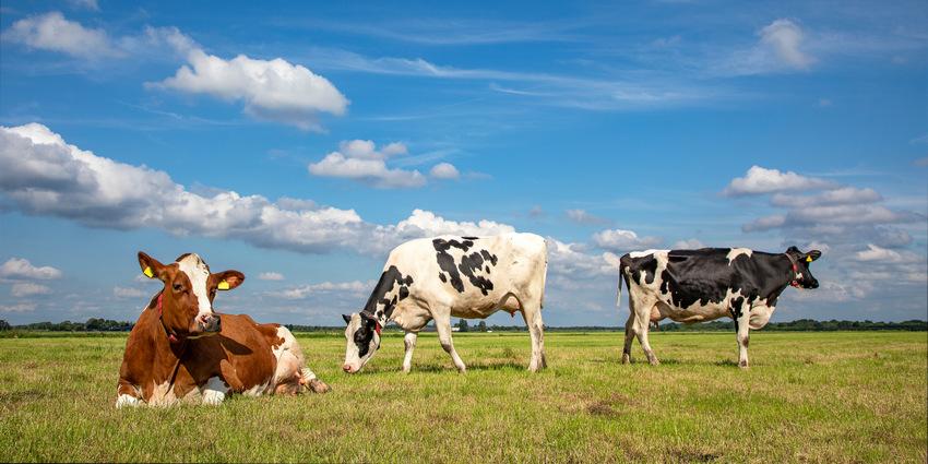 Ежедневный выгул коров на лугу