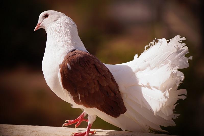 Вакцина Виросальм для декоративной птицы